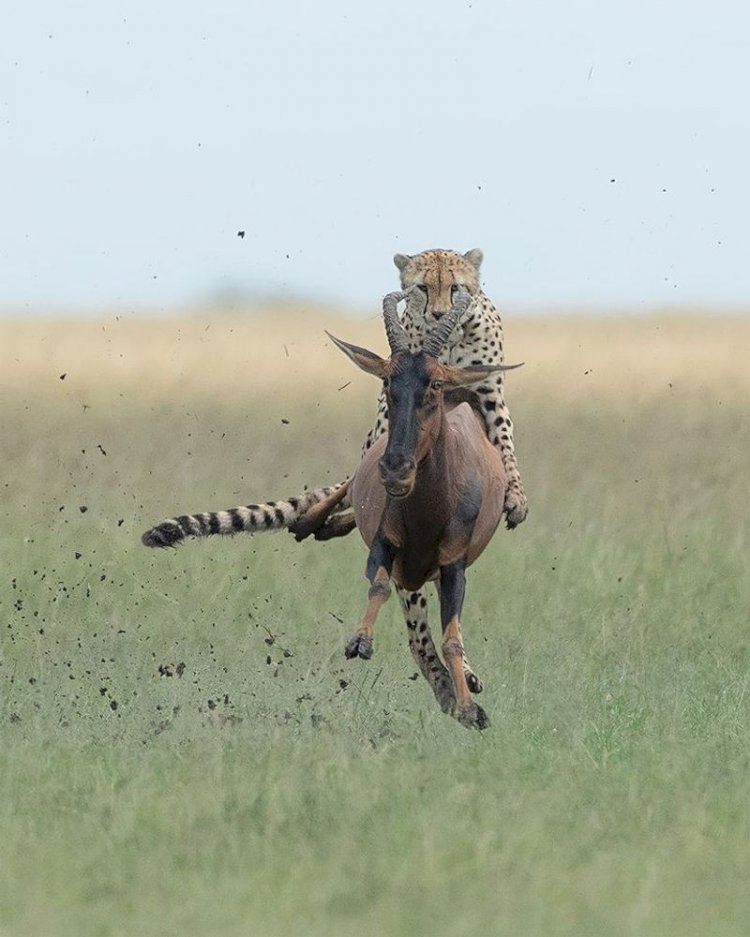 Cheetah that sits above antelope- Viral photos