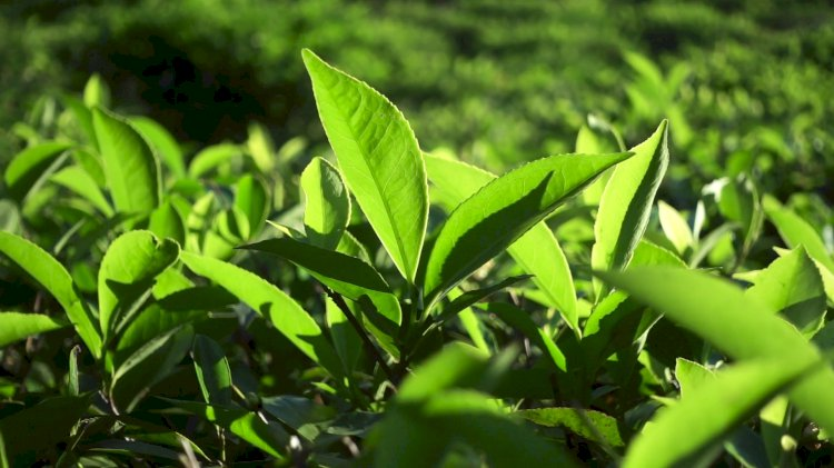 Tea Price hikes due to its Overseas demand