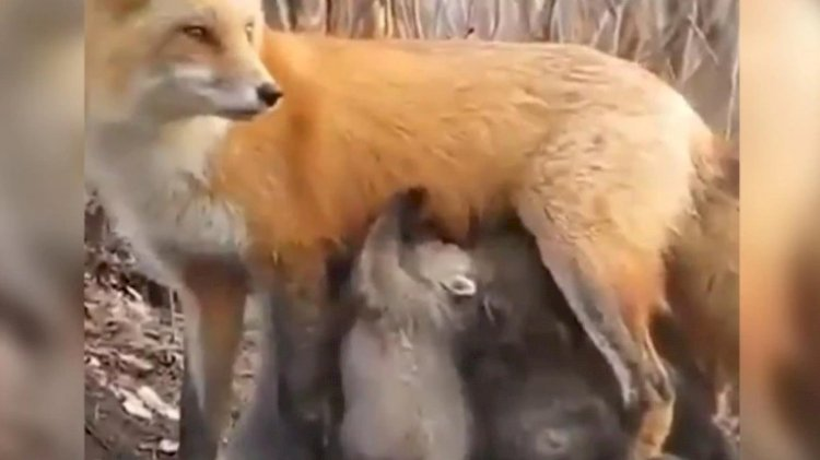 This is motherhood; Mama fox feeds milk to baby koalas -a viral video from Australia